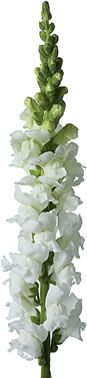 FlowersGrowers.com: White Snapdragons  $100 for 50 stems