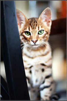 Beautiful Bengal. Those eyes are AMAZING!