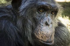 Humans have faster metabolism than closely related primates, enabling larger brains