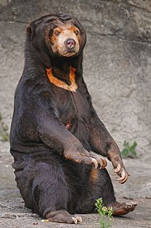 A declawed sun bear has allegedly been forced to spend 10 years of his life in a tiny cage out of public view at a zoo in Thailand. He has shown signs of distress and depression. Sign this petition to demand that he be relocated to a wildlife sanctuary. Beautiful Creatures, Animals Beautiful, Cute Animals, Wild Animals, Baby Animals, Malayan Sun Bear, Bear Species, Spectacled Bear, Moon Bear
