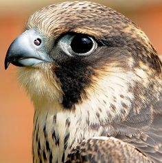 LANNER FALCON | Flickr - Photo Sharing!