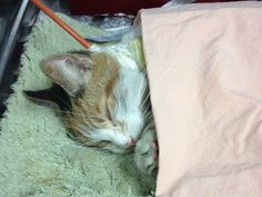 Please DONATE: Sweet JASMIN A1023812 was on the NYC ACC Kill List on 1/6/15. She caught the dreaded shelter cold while there, and by the time she left the shelter, she was sick, dehydrated, and not eating.  She went straight from the shelter to our vet.  Unfortunately, poor Jasmin has continued to decline.  X-rays show that she has developed pneumonia and she has not eaten on her own since she was at the shelter.  She has been on IV antibiotics since her admittance.  After being force-fed…