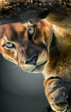 The Puma is a large, graceful cat belonging to the family Felidae. Pumas are also called pumas, panthers and mountain lions. Pumas are single cats and have the widest range of all wild land mammals in the Western Hemisphere. Beautiful Cats, Animals Beautiful, Animals And Pets, Cute Animals, Gato Grande, Serval, Caracal, Tier Fotos, Animal Photography