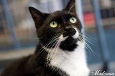 Homes desperately needed for these sweethearts!! So friendly...Madonna is an adoptable Domestic Short Hair-Black And White Cat in Manahawkin, NJ. Madonna, DSH Black and White, Adult Female. She is a friendly girl who has unique black and white markings. Come meet...