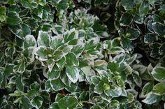 "Euonymus fortunei ""Emerald Gaiety"""