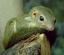 Pygmy treeshrew - Wikipedia, the free encyclopedia