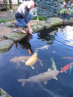 Giant koi i have one nearly that size i guess i try for Koi carp pond size