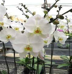 White orchids flowers - only the best for a white wedding..