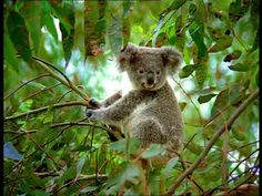 Koala / Sitting / Australia | HD Stock Video 456-921-760 ...