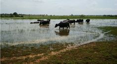 La historia política de los humedales colombianos. Búfalos en el río San Jorge