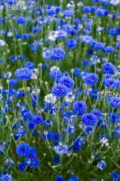 Cornflowers ~ Bachelor Buttons