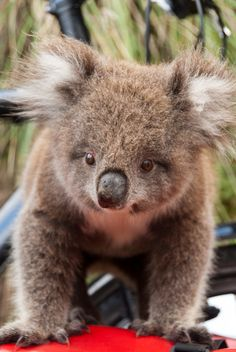 Koala-- sometimes you have to forget how mean an animal is, and appreciate it's fluffiness.