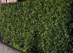 PORT WINE MAGNOLIA HEDGE Fence Plants, Backyard Plants, Garden Plants, Landscape Design, Garden Design, Garden Inspiration, Garden Ideas, Garden Hedges, Living Fence