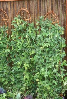 City folk? No space in your backyard for veggie gardening...check this out lil' soil, trellis leaning against your fence (via garden-photos-com)