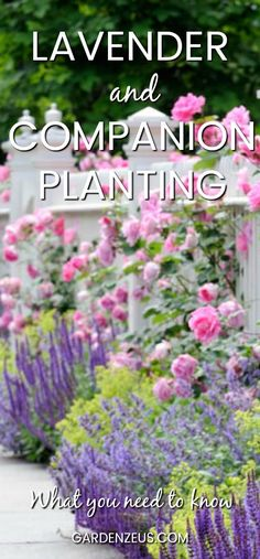 Lavender and companion planting #lavender #companionplanting #roses #herbs
