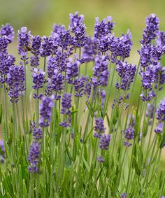 Take a look at this Live 'Munstead' Lavender - Set of Three today!