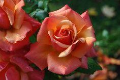 Rosas, Flores, Rosa, Orange, Floral