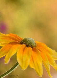 Happy Sunday ... - With this Rudbeckia I wish you a happy Sunday !!