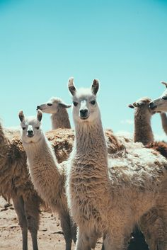 If the Llama is your spirit animal  it means that your truest essence is really laid back and easy going. But even so, you are still just stubborn enough to make it through anything that life throws at you. You are a naturally generous person as well.