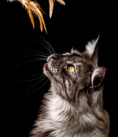 Submit pictures of your cats, be it big or small! Warrior Cats Rpg, Cute Cats, Funny Cats, Cat Pictures For Kids, Gato Grande, Cat Pose, Training Your Dog, Training Tips, Cat Photography