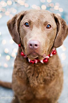 Christmas Chessie! Beautiful pup!
