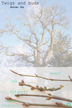 Twigs and Buds winter id spotter sheet