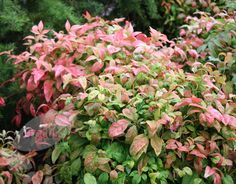 heavenly bamboo Nandina domestica 'Fire Power': Delivery by Crocus.co.uk
