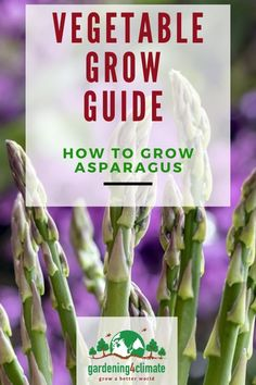 Asparagus is a delicious vegetable and it is even better from your own garden. Learn here how to master growing this perennial vegetable in your own backyard garden. Asparagus is a delicious vegetable and it is even better from your own garden. Perennial Vegetables, Fall Vegetables, Organic Vegetables, Growing Vegetables, Veggies, Organic Gardening, Gardening Tips, Sustainable Gardening, Gardening Gloves
