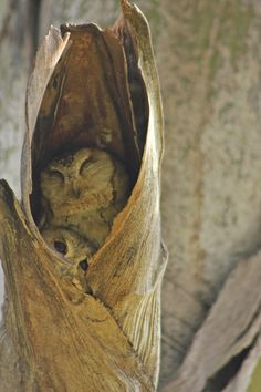 Indian Scops Owl - Duo - Indian Scops Owl with Juvenile from roosting in a tree hole.