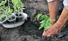 : Высадка рассады томатов в грунт