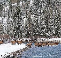 elk crossing in Kananaskis country, Alberta