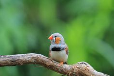 1000 images about domestic finches on pinterest zebra - Gainesville craigslist farm and garden ...