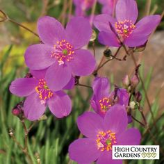 A carefree little succulent native plant, Fame Flower has quarter-sized rose-violet flowers that open in the afternoon heat. A willing re-seeder, these little plants gently colonize their garden site and bloom all summer. Drought resistant/drought tolerant plant (xeric).