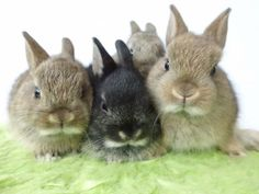 Baby Netherland Dwarf Bunnies - just like Buns. Funny Bunnies, Baby Bunnies, Cute Bunny, Bunny Rabbits, Netherland Dwarf Bunny, Baby Animals, Cute Animals, Dwarf Bunnies, Young Animal