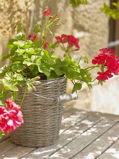Geranio: cuidados, consejos y trucos para dar vida a tu jardín o balcón Wicker Baskets, Exterior, Plants, Home Decor, Types Of Succulents, Rustic Gardens, Geraniums, Tips And Tricks, Container Gardening