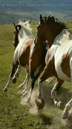 Horse photography - Paints on the run. - by Tony Stromberg