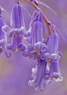 mysticalpalace:  Bluebells