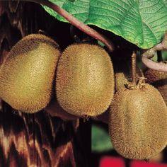 Fruit kiwi - Belevenissen van een Tuinkabouter