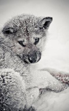 Cute Wolf Pup in Snow by francis