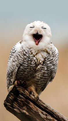 Male Snowy Owls are barred with dark brown when they're young and get whiter as they get older.