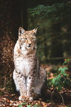 lmmortalgod:  lynx   Beautiful