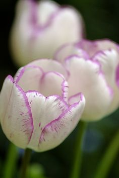 White Tulips with Purple Edging