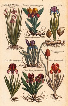 Matthaeus Merian - Iris varieties  -  From Viridarium Reformatum, seu Regnum Vegetabile (Newly Revised Garden of the Plant Kingdom) by Michael Bernhard Valentini - 1719