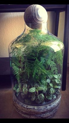Whispy fern paired with Pilea Terrarium Plants, Terrarium Ideas, Bottle Garden, Bottle Plant, Plants In Bottles, Plant Projects, Bonsai Garden, Yard Art, Ferns