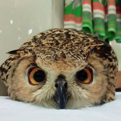Tips and advice for pet care and all your pets needs! Baby Owls, Cute Baby Animals, Funny Animals, Owl Pictures, Cute Animal Pictures, Beautiful Owl, Animals Beautiful, Owl Bird, Pet Birds