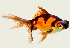 Telescope Fantail Red & Black Fancy Goldfish | Tropicali