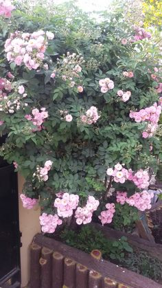 Shrub roses in my garden.