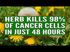 CELL SUICIDE: Scientists Find Common Yard Weed That Kills Of Your Cancer Cells In Only 48 Hours! So many people can't wait to get rid of them, once they s Dandelion Root Tea, Natural Cancer Cures, Natural Remedies, Cancer Fighting Foods, Types Of Cancers, Cervical Cancer, Cancer Cells, Cancer Treatment, Natural Treatments