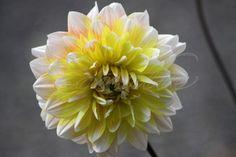 blog post Dahlia Flower Blooming in the High Desert