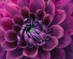 purple dahlia | Purple Dahlia | Flickr - Photo Sharing!